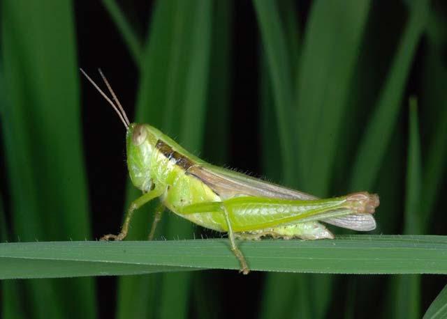 ตั๊กแตน กัดกินใบข้าว ทำผลผลิตลด ป้องกันและกำจัดด้วย มาคา กำจัดแมลง