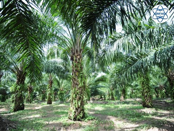 มาเลเซียมีเป้าหมาย ภายในปี 2563 เกษตรกรจะต้องมีผลผลิตเพิ่มเป็น 4.16 ตันต่อไร่ ได้น้ำมันสกัดในอัตรา 23%...ส่วนของไทยมี..