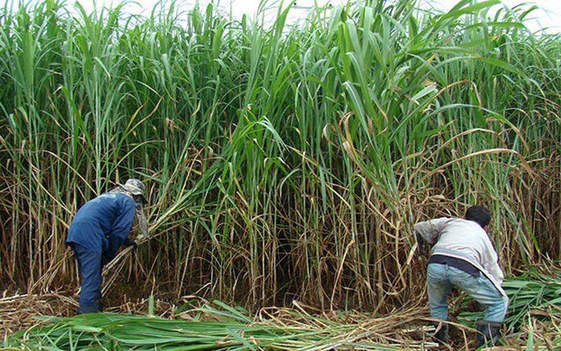 การเตรียมดิน พืชอาหารสัตว์ เป็นพืชที่ต้องการแสงแดดในการเจริญเติบโตอย่างมาก ในแปลงปลูกหญ้า จึงต้องโค่นตัดต้นไม้ออก