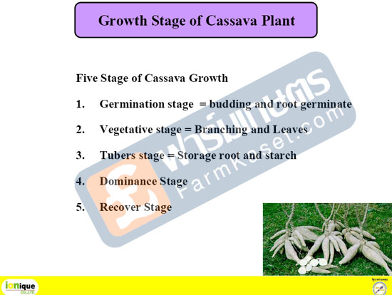 Growth Stage of Cassava Plant