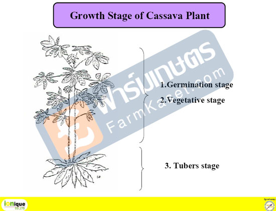 Getmination stage of cassava
