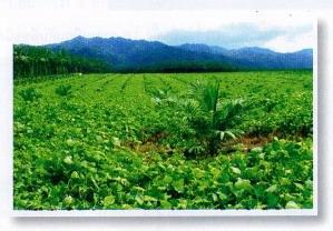 ปลูกพืชคลุมดินในสวนปาล์มน้ำมัน