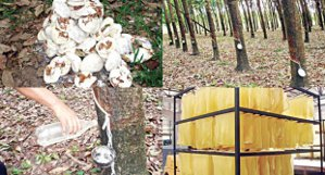 เกษตรกรอย่าใส่สารปลอมปนในน้ำยาง