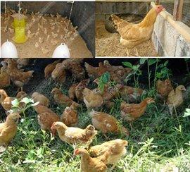 ไก่ตะเภาทอง
