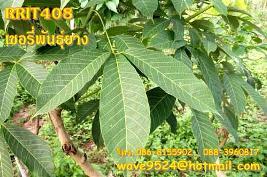 จำหน่ายกล้ายางไทย-มาเลย์คุณภาพดีราคาถูกโทร.086-8155902,088-3960817