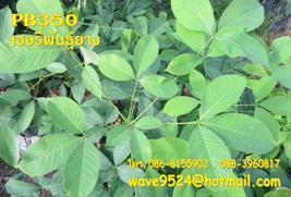 เปิดจองกล้ายางพาราเกรดAสายพันธุ์ไทย-มาเลย์ราคาพิเศษโทร.086-8155902,088-3960817
